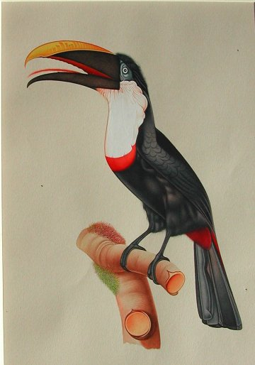 click for detailed image Toucan wcVLG.jpg