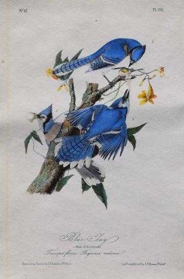 click for detailed image AudubonBlueJay.JPG