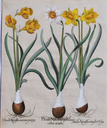click for detailed image BeslerDaffodils.JPG