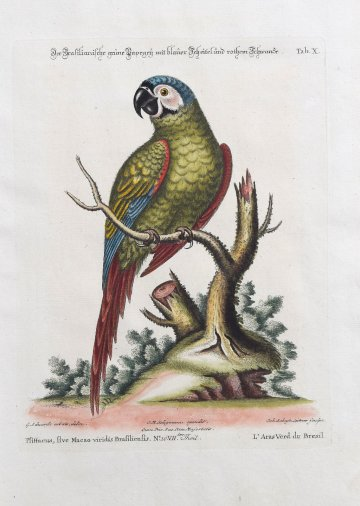 click for detailed image SeligmannParrot.JPG