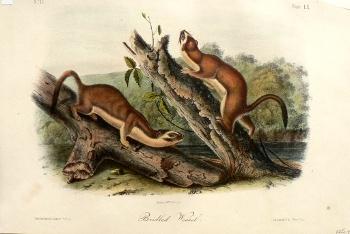 click for detailed image audubonoctavosbridledvlg.jpg