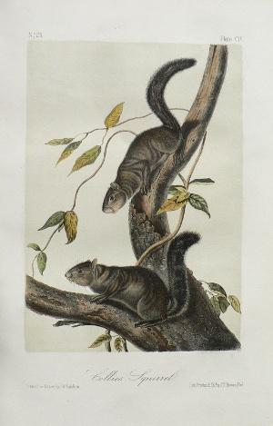 click for detailed image audubonoctavoscivvlg.jpg
