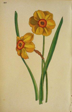 click for detailed image botanwcnarcissusbvlg.jpg