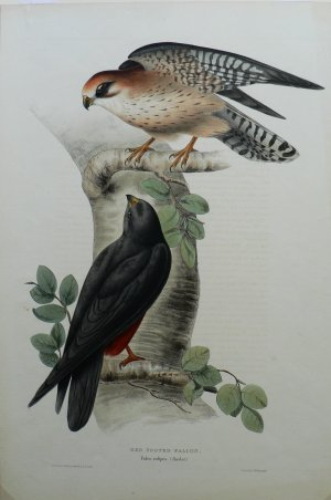photo of print gouldredfooted2vlg.jpg