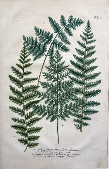 click for detailed image WeinmanFern510.JPG