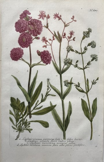 click for detailed image WeinmanLychnis680.JPG