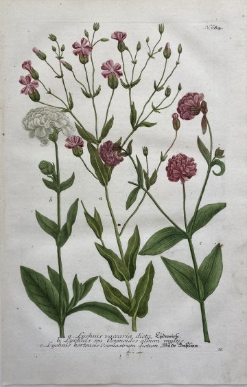 click for detailed image WeinmanLychnis684.JPG